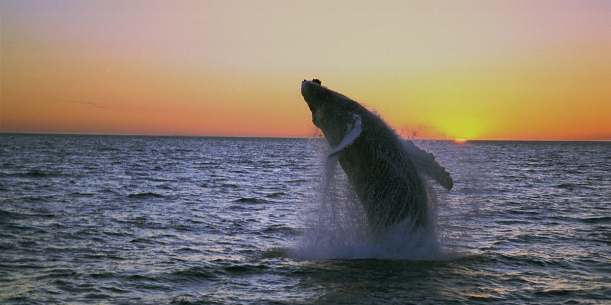 humpbackmidnight-jump.jpg